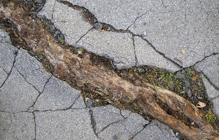 tree root breaking through sidewalk